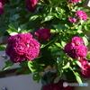 薔薇便り2020y-83