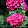 紫陽花便り2021y-24
