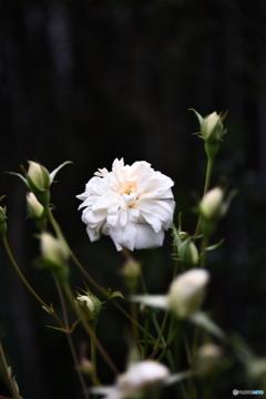 薔薇便り2020y-189