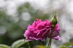 薔薇便り2020y-192