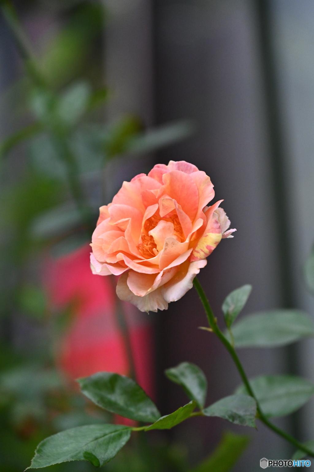 薔薇便り2020y-138