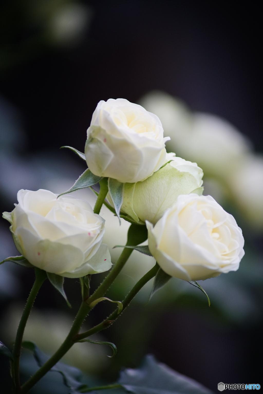 薔薇便り2021y-49