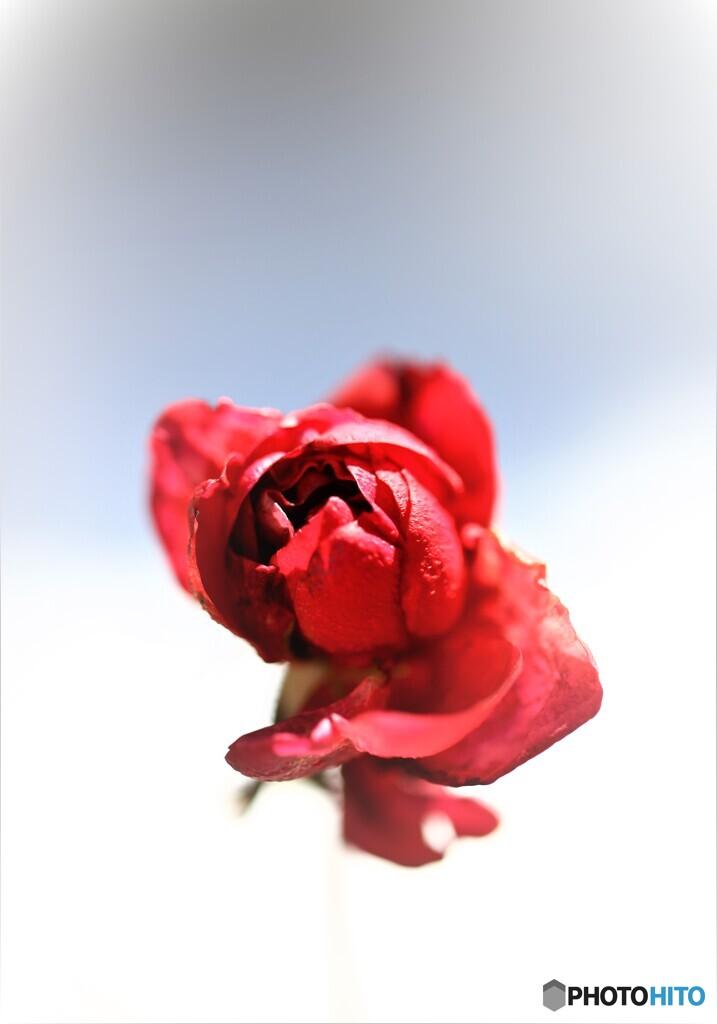 薔薇便り2021y-1