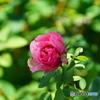 薔薇便り2021y-89