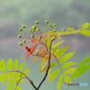 蔵王に咲く山野草-10