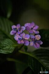 紫陽花便り2020y-25