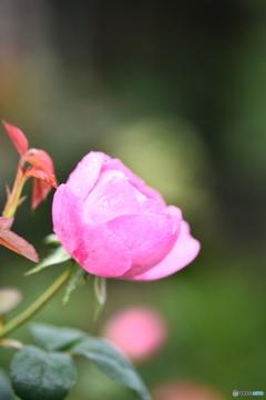薔薇便り2020y-180