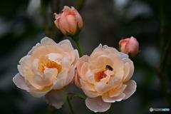 薔薇便り2020y-175