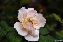 薔薇便り2020y-190