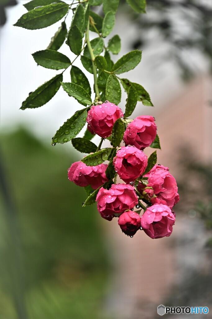 薔薇便り2020y-165