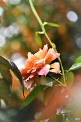 薔薇便り2020y-183