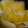 薔薇便り-37