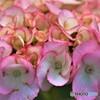 紫陽花便り2020y-22