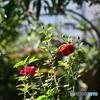 薔薇便り2020y-156