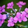 紫陽花便り2021y-20