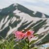 飯豊連峰に咲く山野草-3