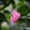 薔薇便り2020y-129