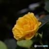 薔薇便り-50