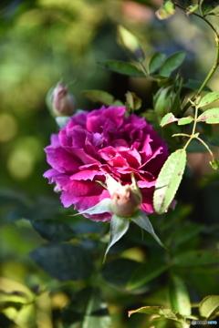 薔薇便り2020y-186