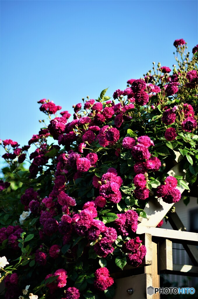 薔薇便り2021y-45