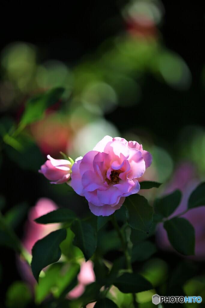 薔薇便り2020y-84