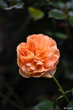 薔薇便り2020y-187