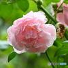 薔薇便り2020y-168