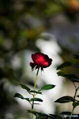 薔薇便り2021y-143