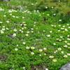 朝日連峰に咲く山野草-10