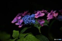 紫陽花便り2020y-26