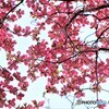 花水木便り2021y-11