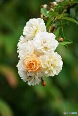 薔薇便り2021y-119