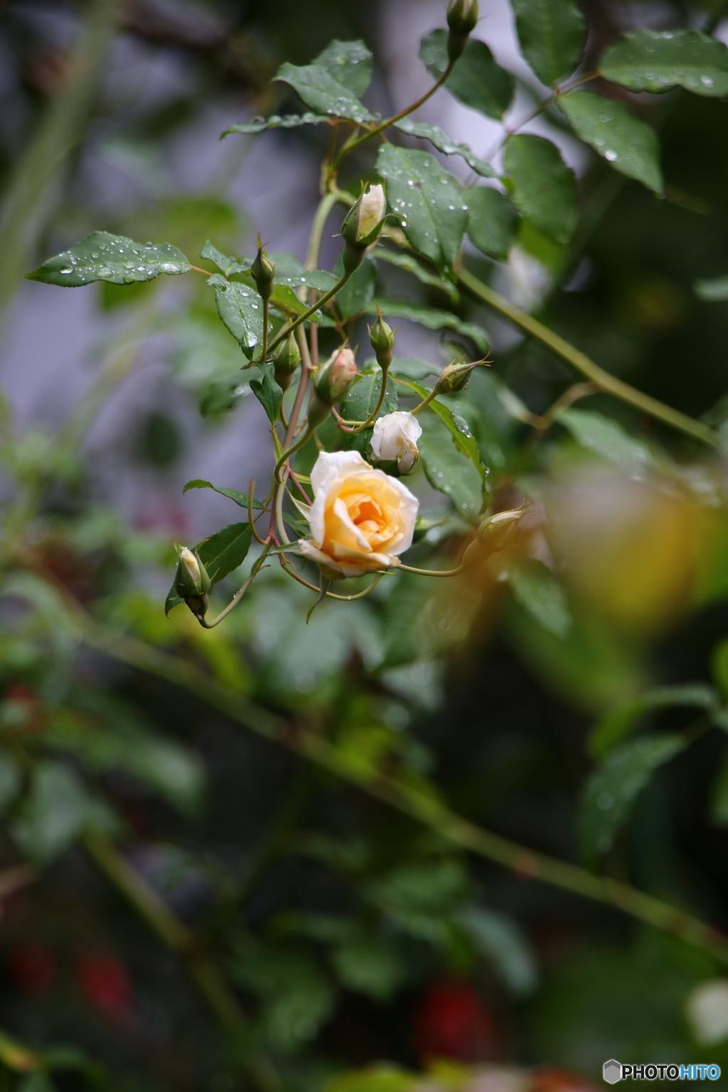 薔薇便り2019y-115