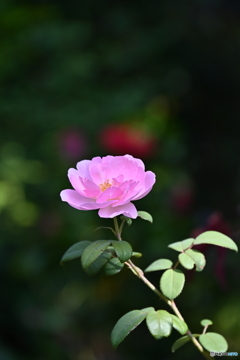 薔薇便り2020y-148