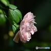 薔薇便り2020y-162