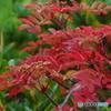 秋の蔵王に咲く山野草-8