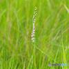 蔵王に咲く山野草-4