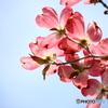 花水木便り2021y-12