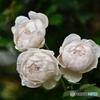 薔薇便り2020y-142