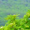 蔵王山に咲く山野草-15