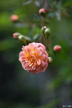 薔薇便り2020y-178