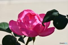 薔薇便り2020y-176