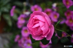 薔薇便り2020y-188