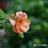 薔薇便り2020y-160