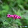 西山山麓に咲く山野草-6