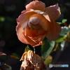 薔薇便り2020y-205