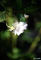 薔薇便り2021y-144