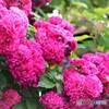 薔薇便り2021y-55