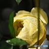 薔薇便り2020y-209