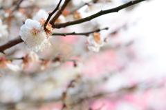 北野天満宮の梅が見頃です。